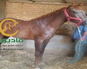 خرید اسب و فروش اسب_کره مادیون عرب