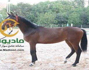 خرید اسب و فروش اسب_کره مادیون