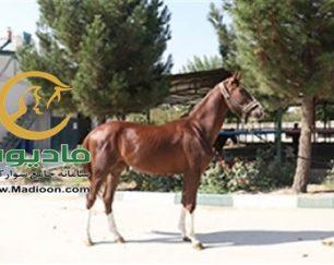 خرید اسب و فروش اسب_کره نریان