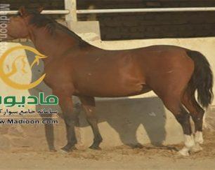 خرید اسب و فروش اسب_کیمیا ماهان