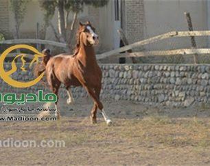 خرید اسب و فروش اسب_گرگین