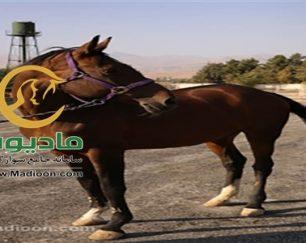 خرید اسب و فروش اسب_گلوریا