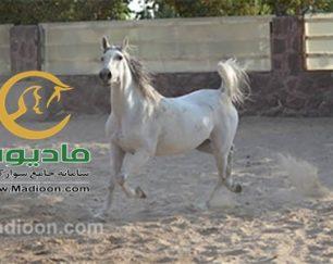 خرید اسب و فروش اسب_گلیتا موسوی