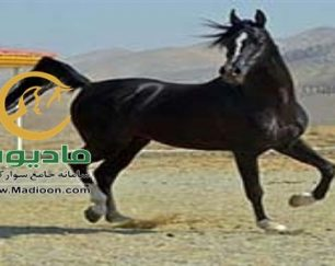 خرید اسب و فروش اسب_گودرز ستوده نیا