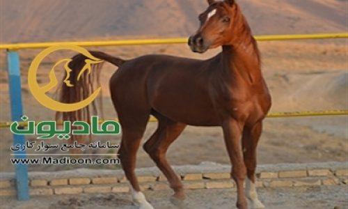 خرید اسب و فروش اسب_یابر ستوده نیا