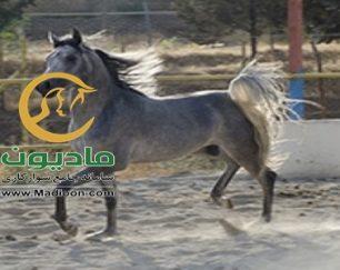 خرید اسب و فروش اسب_یاور ستوده نیا