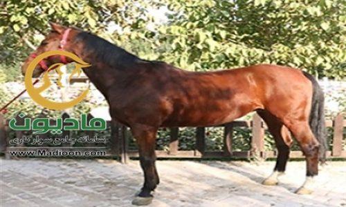 خرید اسب و فروش اسب_adrin