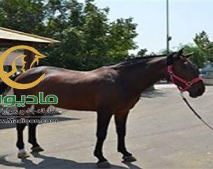 خرید اسب و فروش اسب_bicol