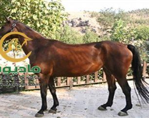 خرید اسب و فروش اسب_bonita