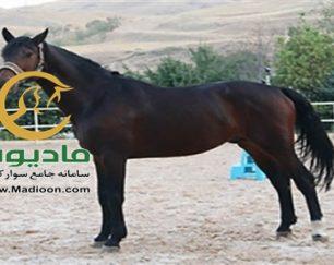 خرید اسب و فروش اسب_candalto