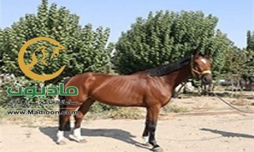 خرید اسب و فروش اسب_elina
