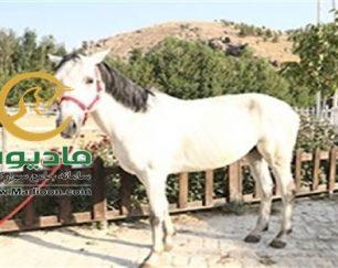 خرید اسب و فروش اسب_futur