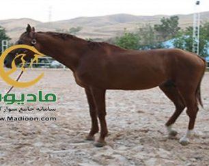 خرید اسب و فروش اسب_golden boy