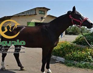 خرید اسب و فروش اسب_grantinio