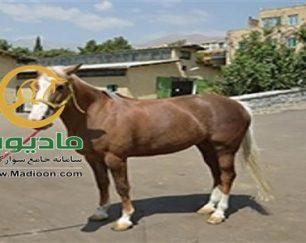 خرید اسب و فروش اسب_lovely