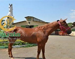 خرید اسب و فروش اسب_patinga