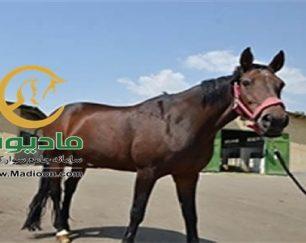 خرید اسب و فروش اسب_queen