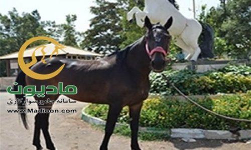 خرید اسب و فروش اسب_sitella