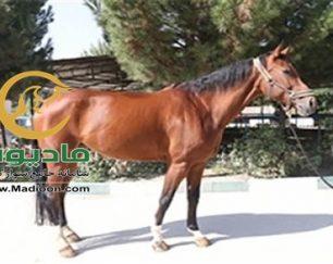 خرید اسب و فروش اسب_vivana