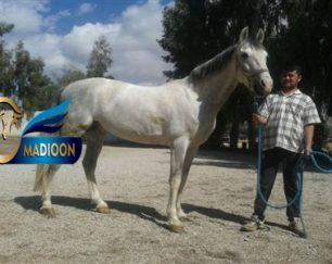 خرید اسب و فروش اسب_اریک