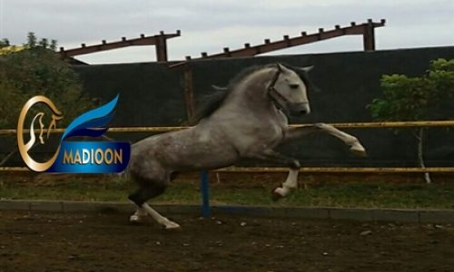 خرید اسب و فروش اسب_طاووس