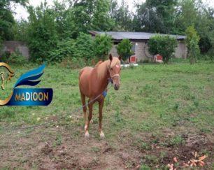 خرید اسب و فروش اسب_کراند