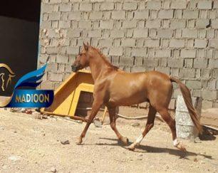 خرید اسب و فروش اسب_ارکین پور