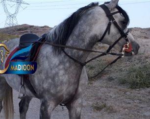 خرید اسب و فروش اسب_ساواش