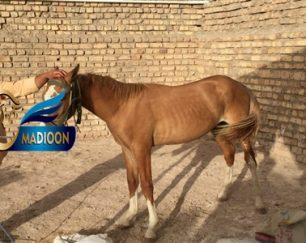 خرید اسب و فروش اسب_ سمند