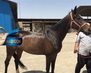 خرید اسب و فروش اسب_مارال