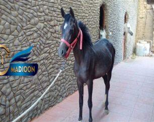 خرید اسب و فروش اسب _ترمه