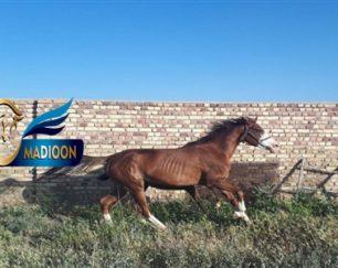 خرید اسب و فروش اسب_نازی