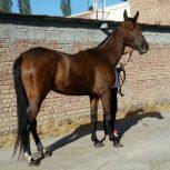 خرید اسب و فروش اسب_کنگو