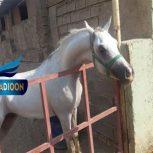 خرید اسب و فروش اسب_یزدخواست