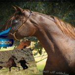 خرید اسب و فروش اسب_ولکان العلیا