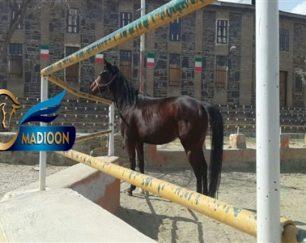 خرید اسب و فروش اسب_dancing queen