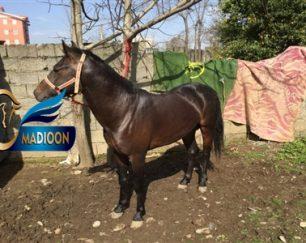 خرید اسب و فروش اسب_شدو