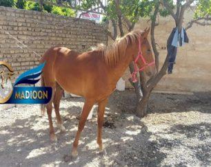 خرید اسب و فروش اسب_توسن