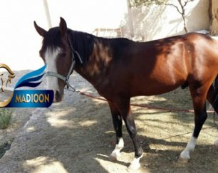 خرید اسب و فروش اسب_eyemoon