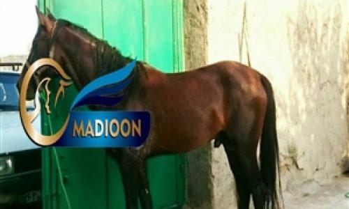 خرید اسب و فروش اسب_ اسب نریون