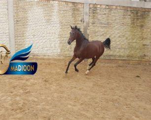خرید اسب و فروش اسب_ونوس