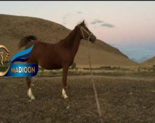 خرید اسب و فروش اسب_مادیون کرد