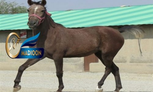 خرید اسب و فروش اسب _کژال