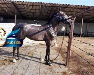 خرید اسب و فروش اسب_ویان
