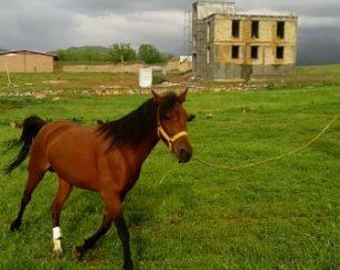 خرید اسب و فروش اسب  _ ستاره