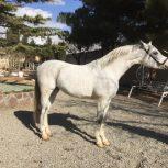 خرید اسب و فروش اسب  _ گوستاو
