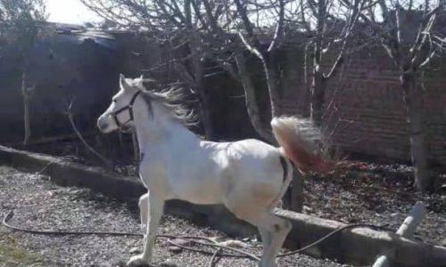 خرید اسب و فروش اسب – مادیان عرب – کرد