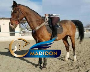 خرید اسب و فروش اسب_ نریان اخته