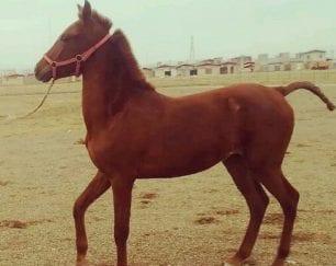 خرید اسب و فروش اسب _اسب دره شوری