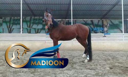 خرید اسب و فروش اسب_ لرد لپانتو